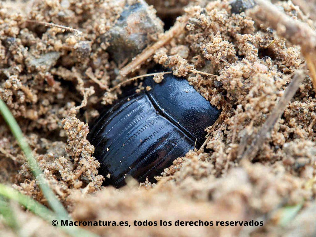 Escarabajo pelotero Copris hispanus semi enterrado.