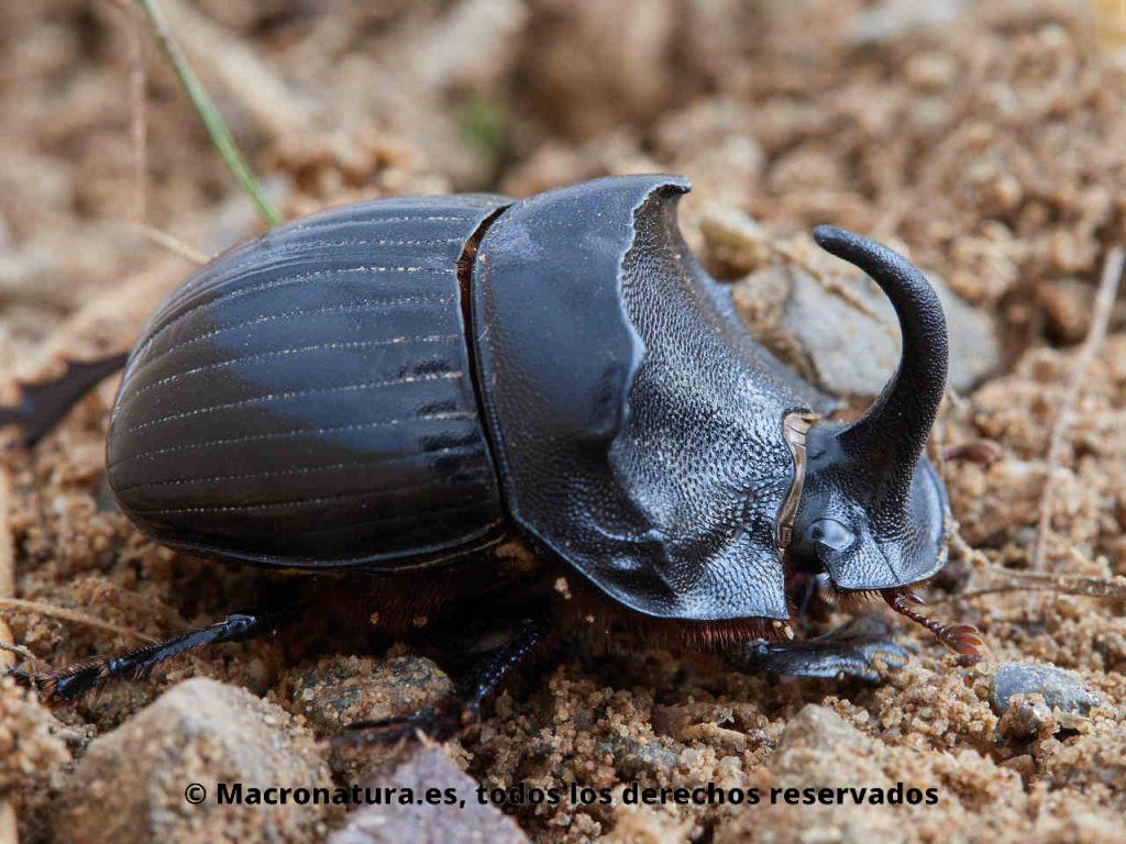 Escarabajo pelotero Copris hispanus con un gran cuerno curvado. Vista lateral.