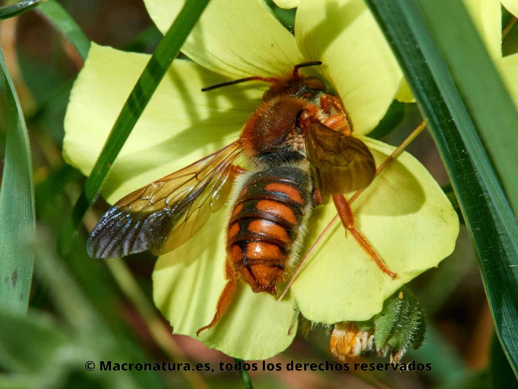 Abeja roja Rhodanthidium sticticum recolectando polen y néctar en una flor de vinagreta, Oxalis pes-caprae. Vita lateral.