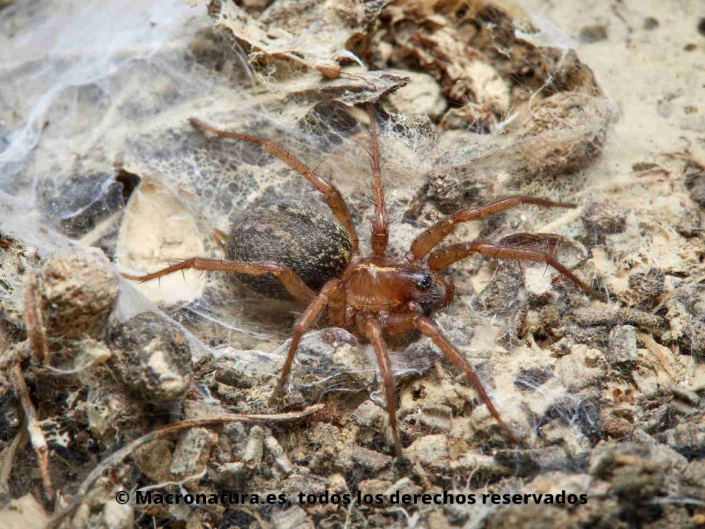 Araña Lycosoides coarctata sobre su nido
