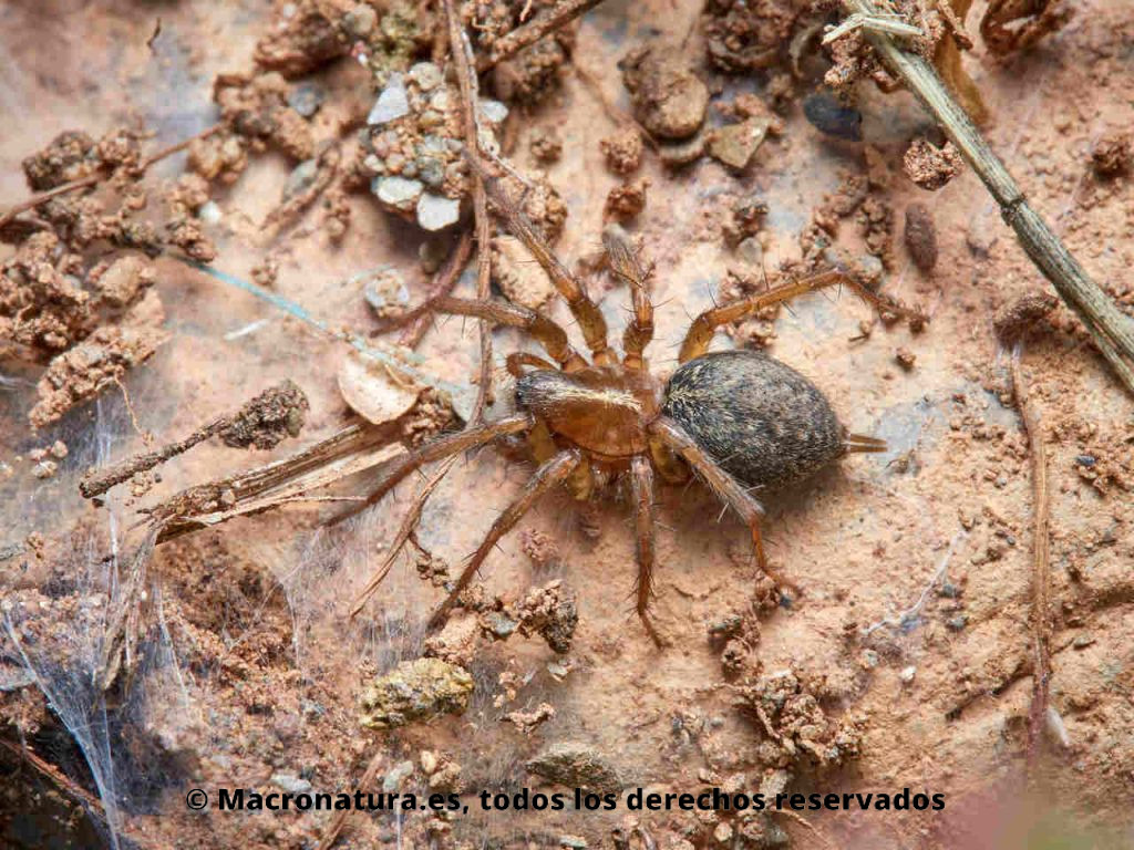 Araña Lycosoides coarctata sobre la tierra.