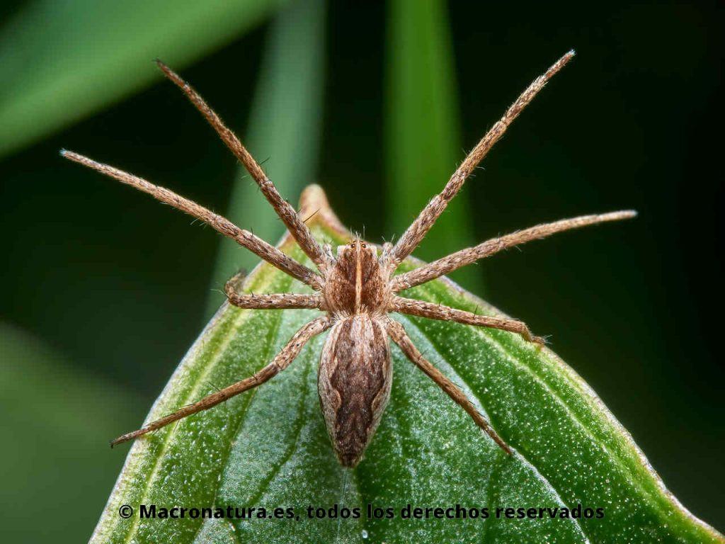 Araña ladrona Pisaura mirabilis con las patas abiertas.
