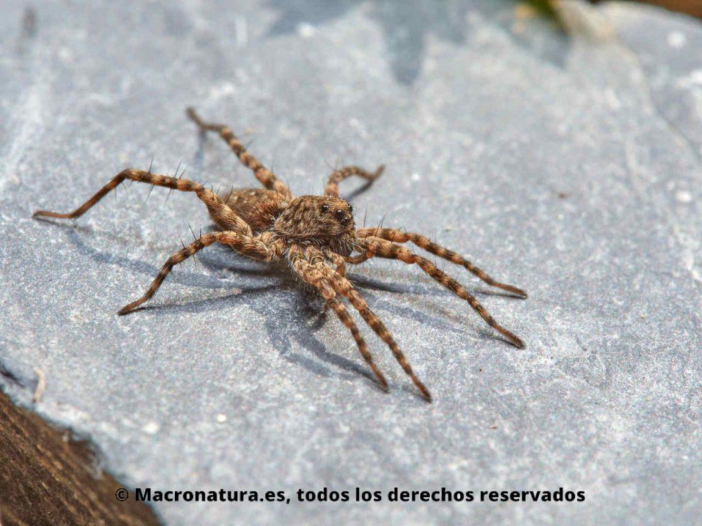 Araña lobo Wadicosa fidelis sobre una piedra cerca de un embalse. Vista fronto lateral.
