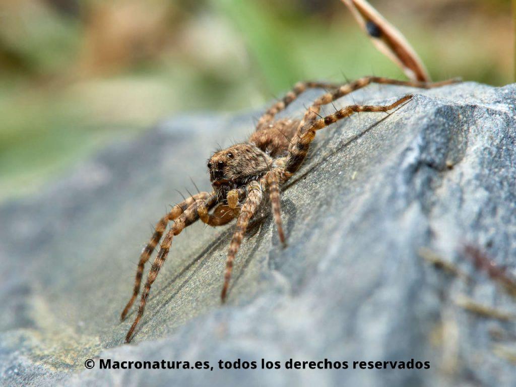 Araña lobo Wadicosa fidelis sobre una piedra cerca de un embalse