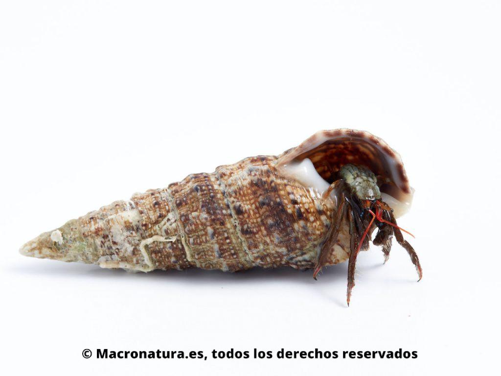 Cangrejo ermitaño Clibanarius erytrhopus en el interior de una concha.