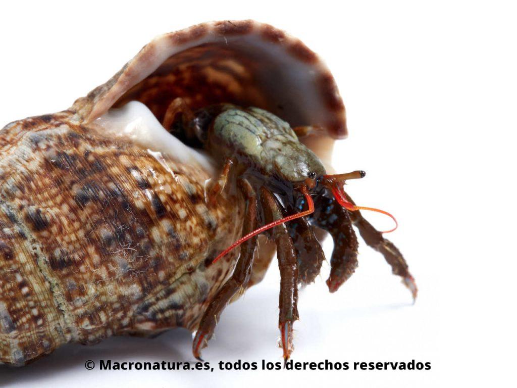 Cangrejo ermitaño Clibanarius erytrhopus. Detalle de antenas y pinzas. Destellos azules.