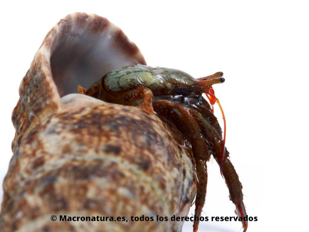 Cangrejo ermitaño Clibanarius erytrhopus, saliendo de una concha