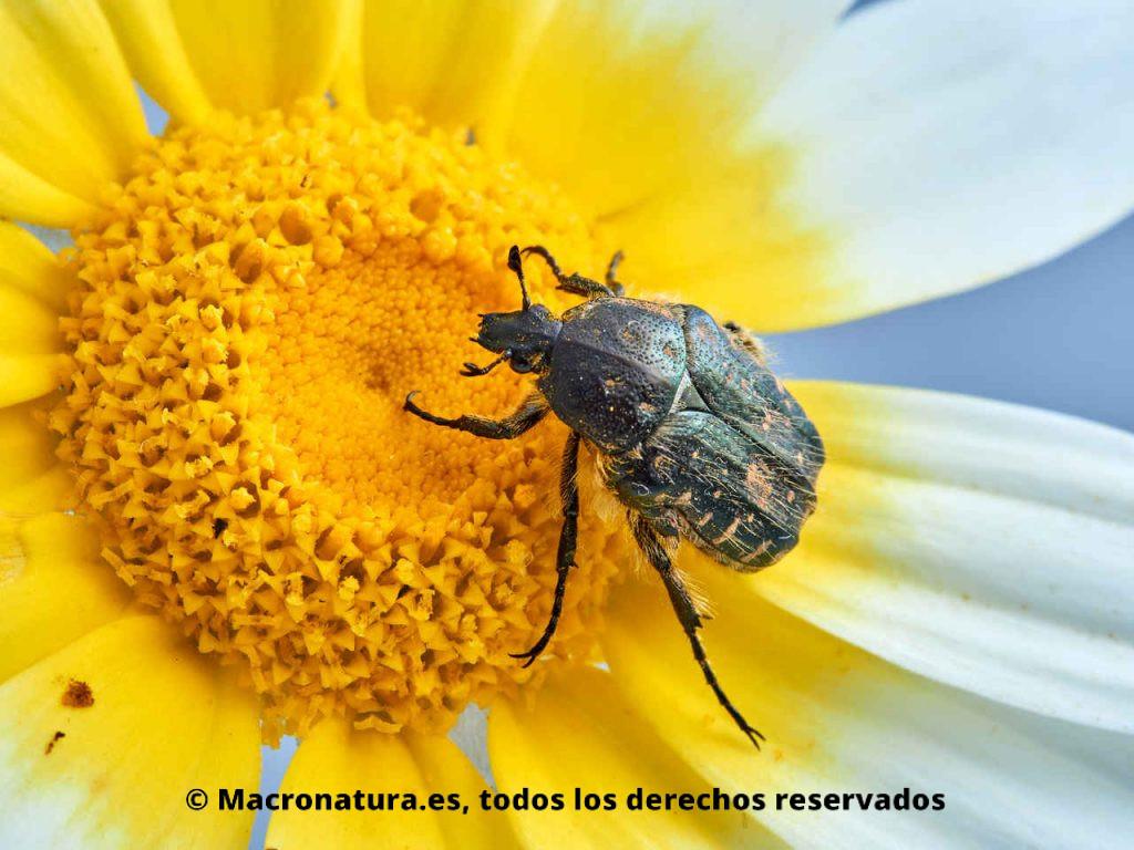 Escarabajo del Sudario Oxythyrea funesta sobre una margarita. Polen