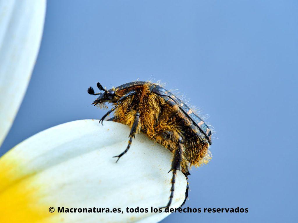 Escarabajo del Sudario Oxythyrea funesta sobre una margarita. Vista lateral.