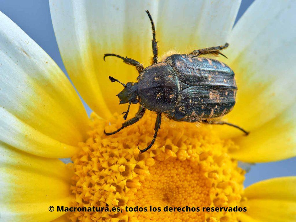 Escarabajo del Sudario Oxythyrea funesta sobre una margarita