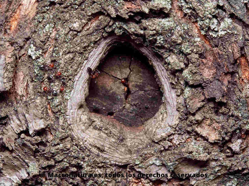 Hormiga del alcornoque Crematogaster scutellaris. Entrada nido. Cabeza roja y cuerpo negro.