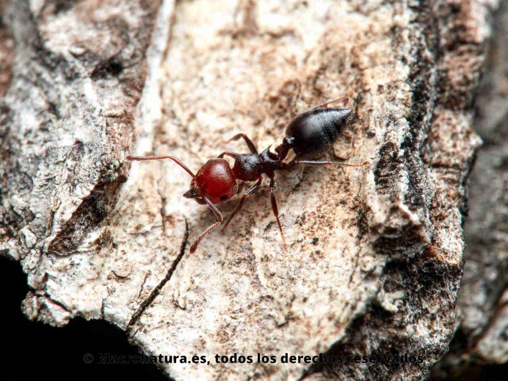 Hormiga del alcornoque Crematogaster scutellaris. Vista cenital. Cabeza roja y cuerpo negro.