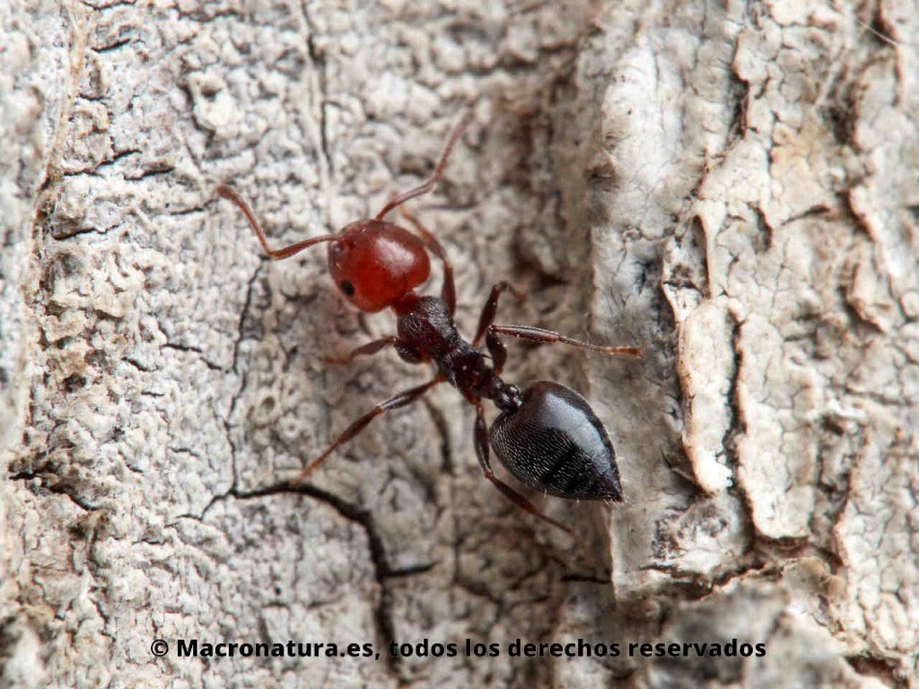 Hormiga del alcornoque Crematogaster scutellaris. Detalle del abdomen en forma de corazón.. Cabeza roja y cuerpo negro.