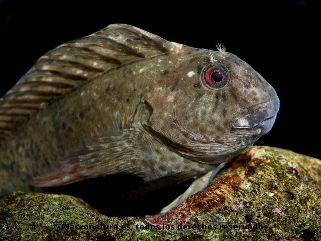 Blenio Lagartina Parablennius sanguinolentus. Detalle de cabeza y aletas dorsales levantadas
