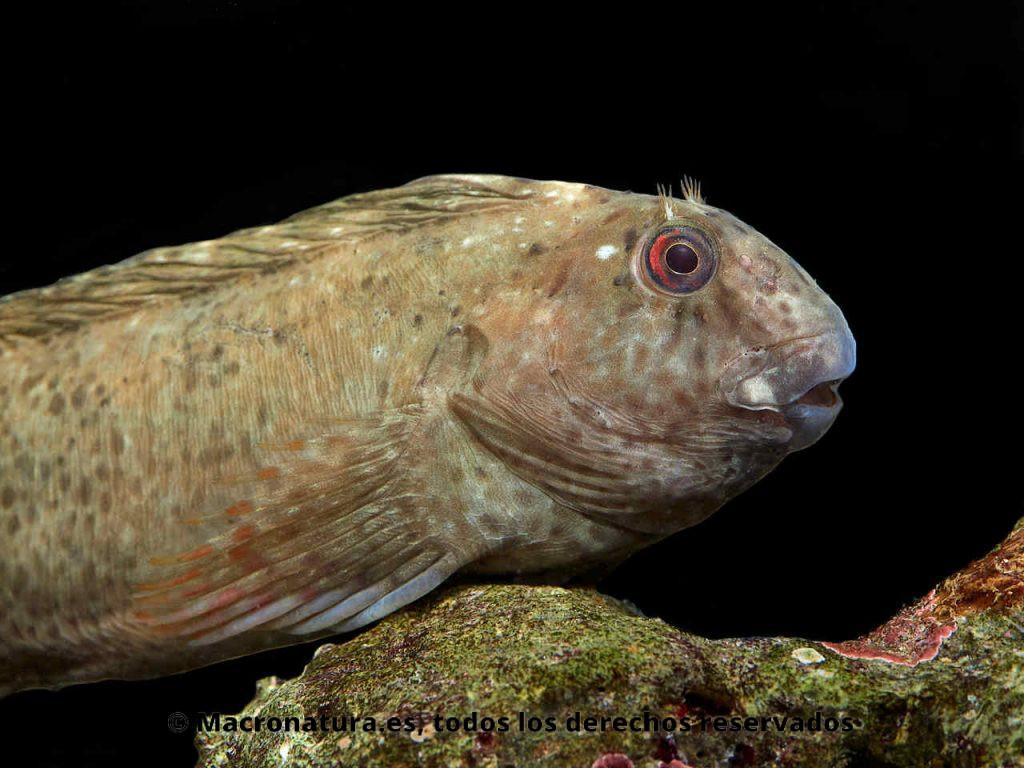 Blenio Lagartina Parablennius sanguinolentus. Detalle de cabeza y aletas dorsales bajadas.