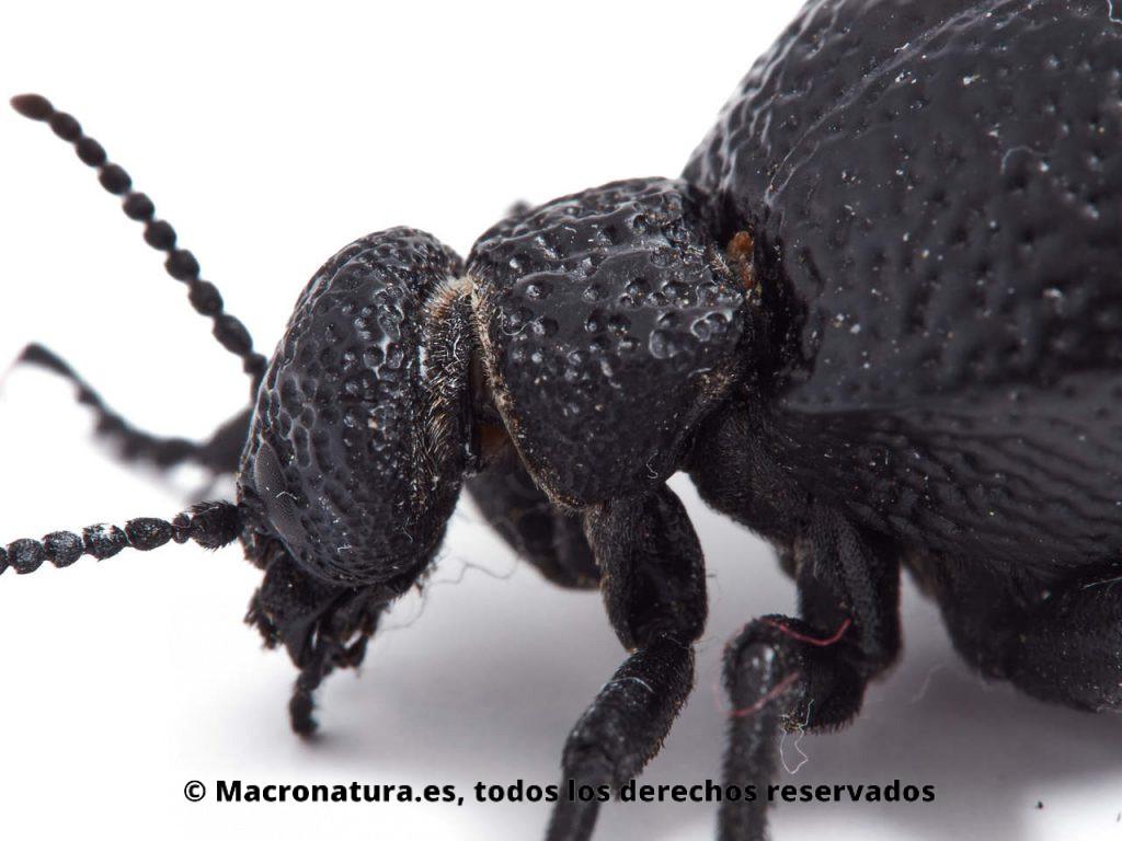 Aceitera negra Meloe tuccius. Detalle cabeza, pronoto y parte de élitros.