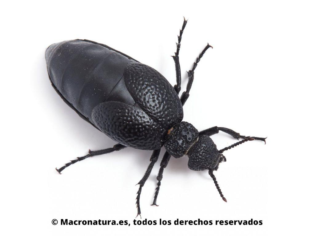 Aceitera negra Meloe tuccius. Vista cenital.