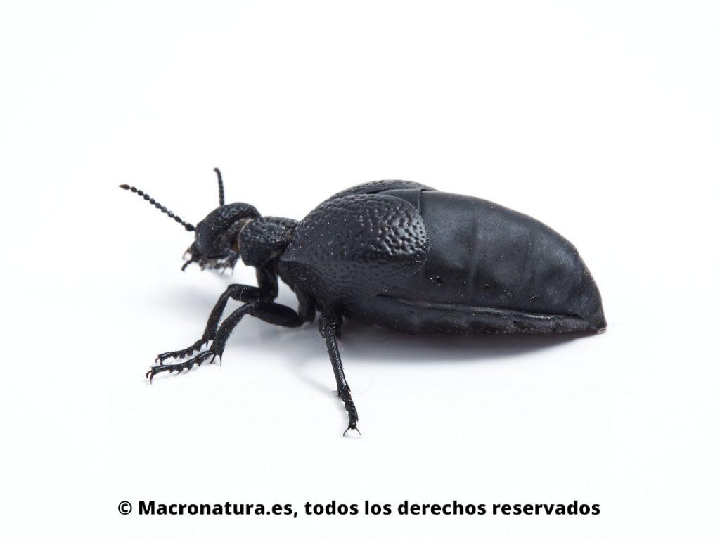 Aceitera negra Meloe tuccius. Vista lateral del abdomen.