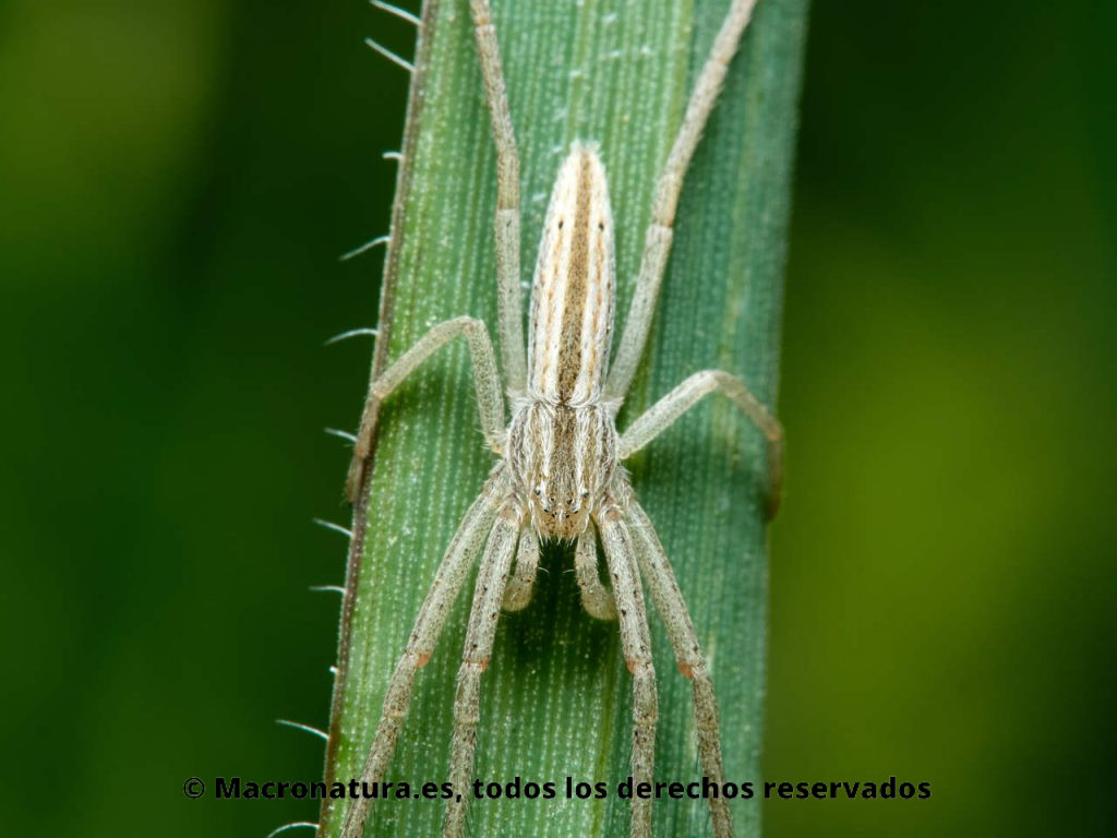 Detalle de tórax y cefalotórax de una Araña cangrejo alargada género Tibellus sobre una brizna
