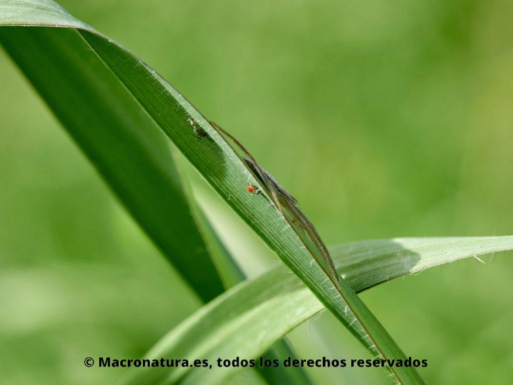 Araña cangrejo alargada género Tibellus sobre una brizna