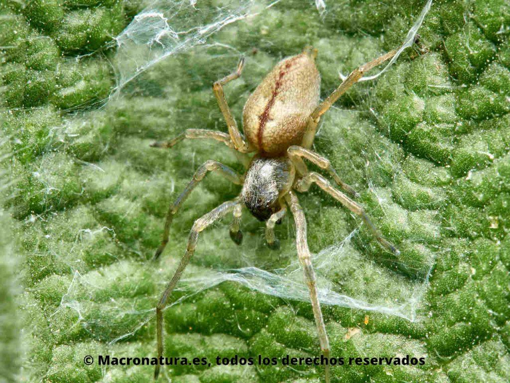 Arañas del género Cheiracanthium sobre una hoja en su estructura de seda