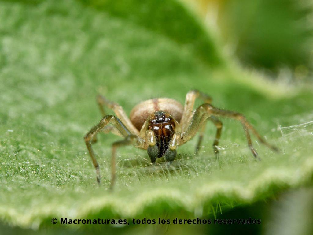 Arañas del género Cheiracanthium sobre una hoja. Vista frontal