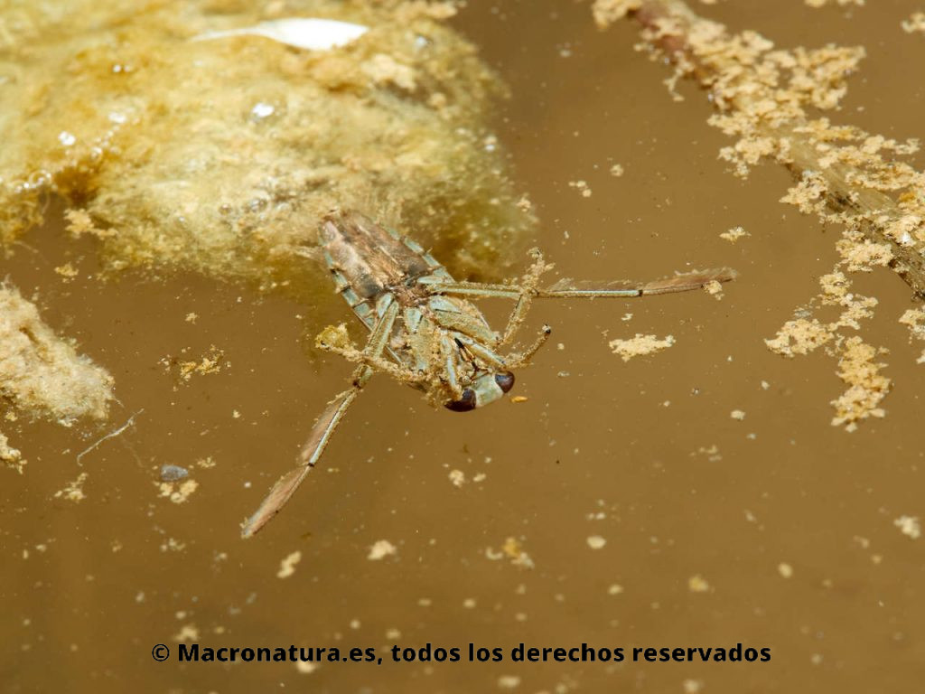 Chinche de Agua Notonecta maculata, en un estanque.