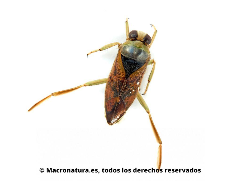 Chinche de Agua Notonecta maculata. Vista dorsal.