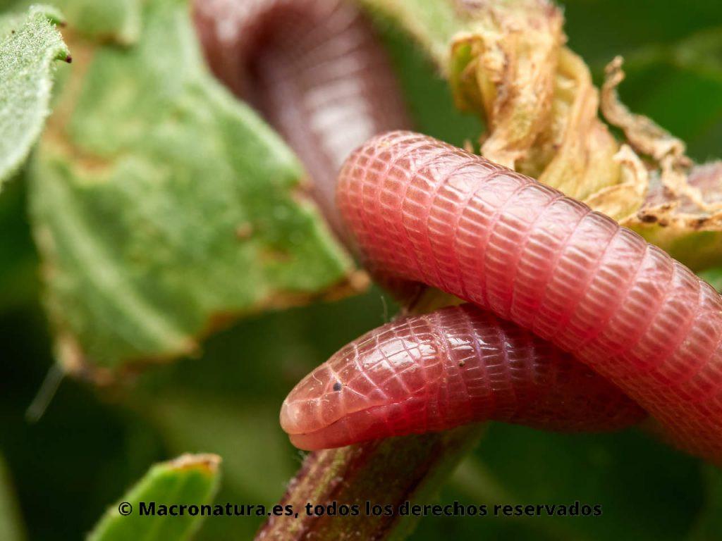 Culebrilla ciega Blanus cinereus. Enrrollada sobre una planta