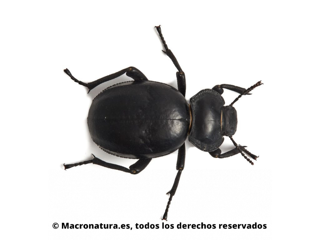Escarabajo negro Morica planata. Vista cenital.