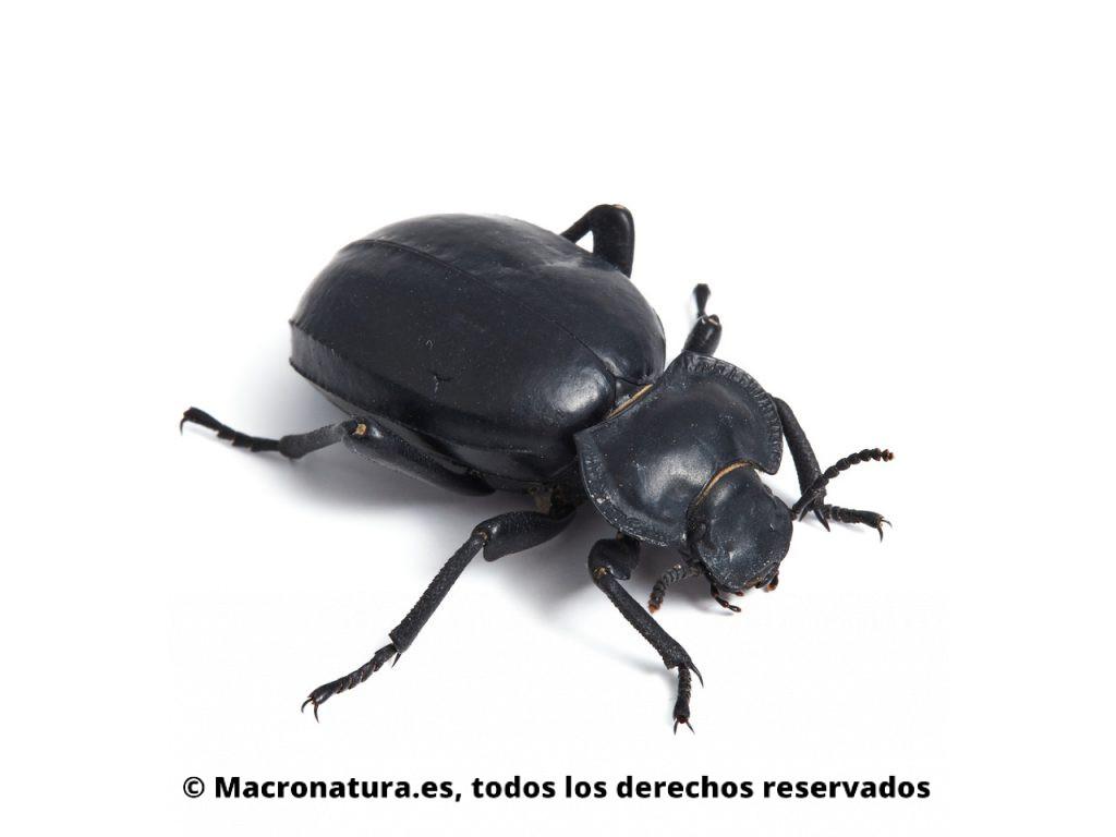 Escarabajo negro Morica planata sobre un fondo blanco.