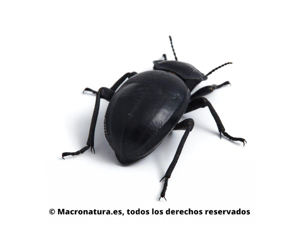 Escarabajo negro Morica planata. Detalle de élitros.