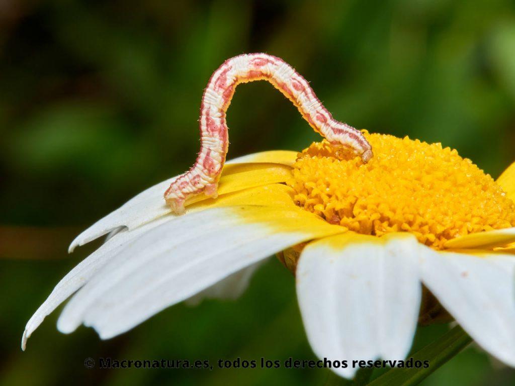 Larva de polillas del género Eupithecia sobre una flor de margarita