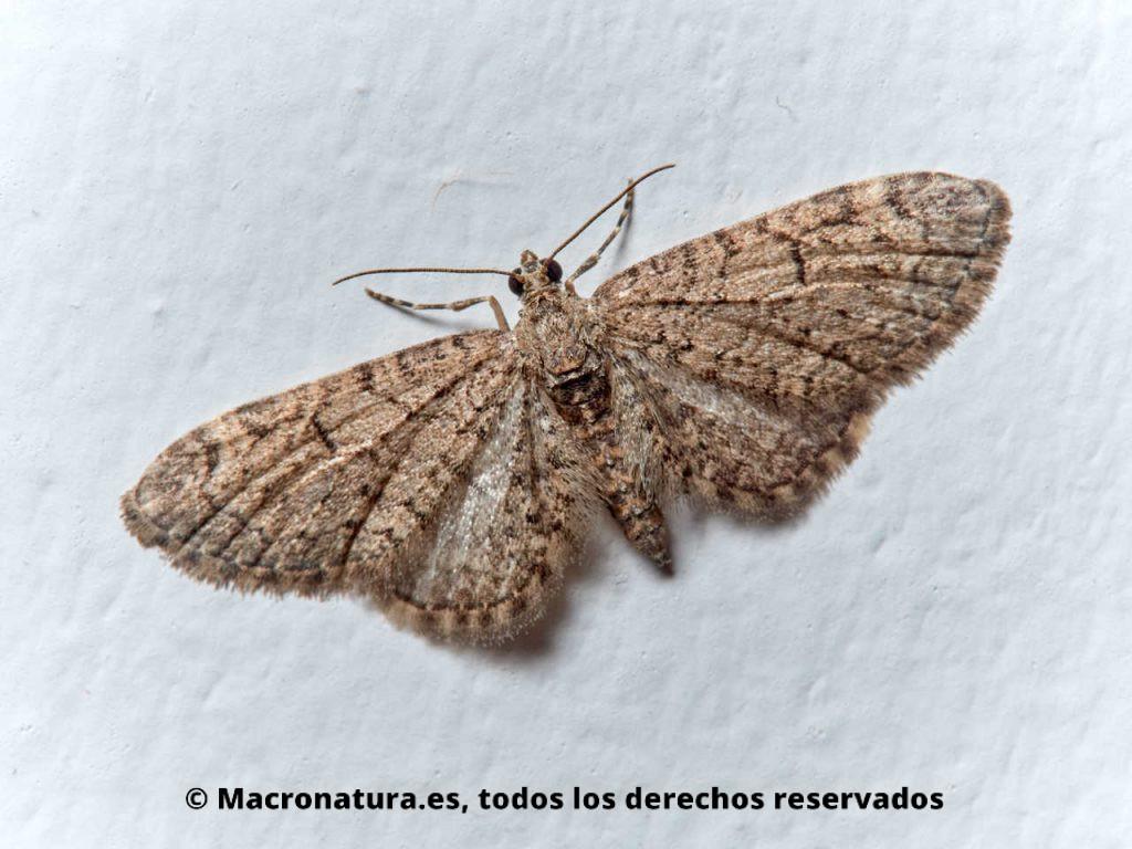 Polillas del género Eupithecia en la pared de una casa atraída por la luz interior