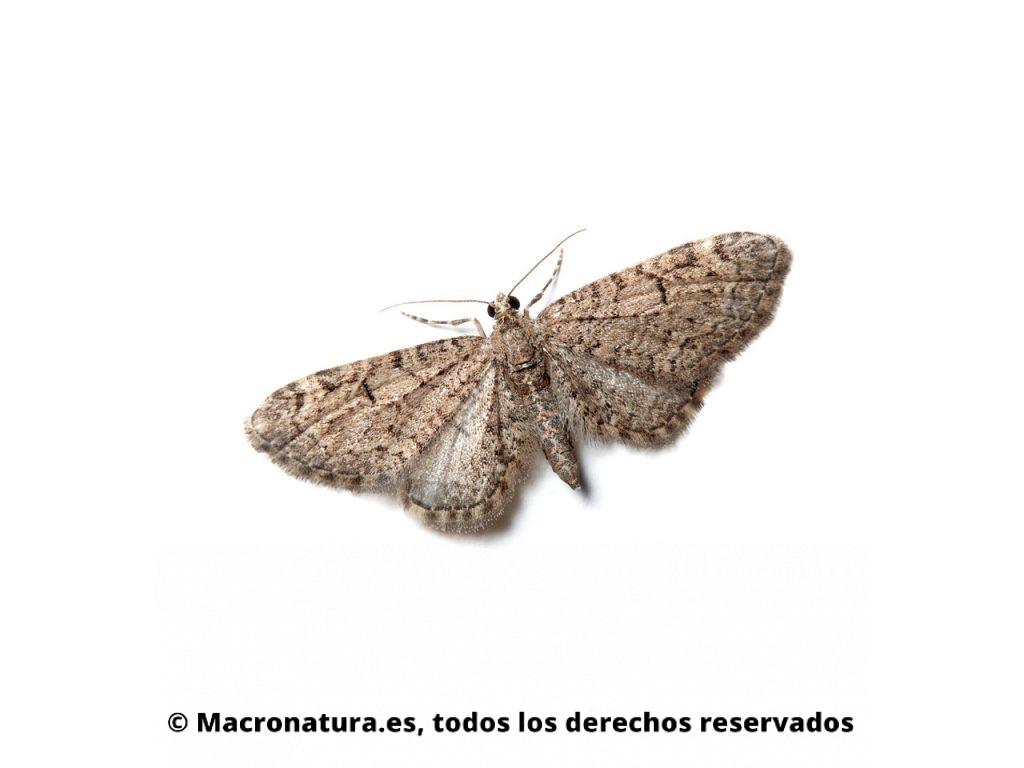Polillas del género Eupithecia en la pared de una casa atraída por la luz.