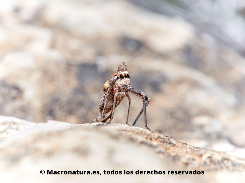 Insectos hemípteros del género Parorgerioides. Vista lateral.