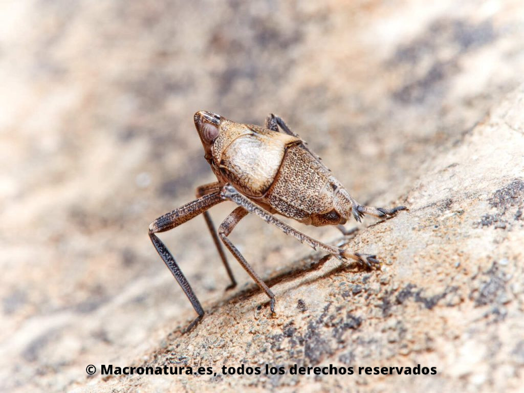 Insectos hemípteros del género Parorgerioides. Vista lateral - trasera.
