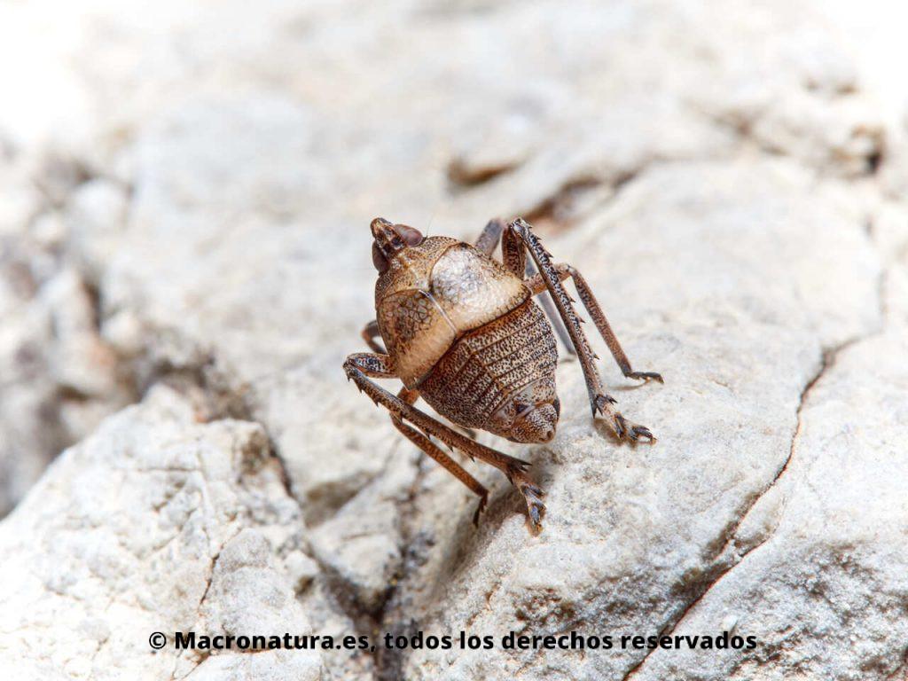 Insectos hemípteros del género Parorgerioides. Vista trasera, dorsal.