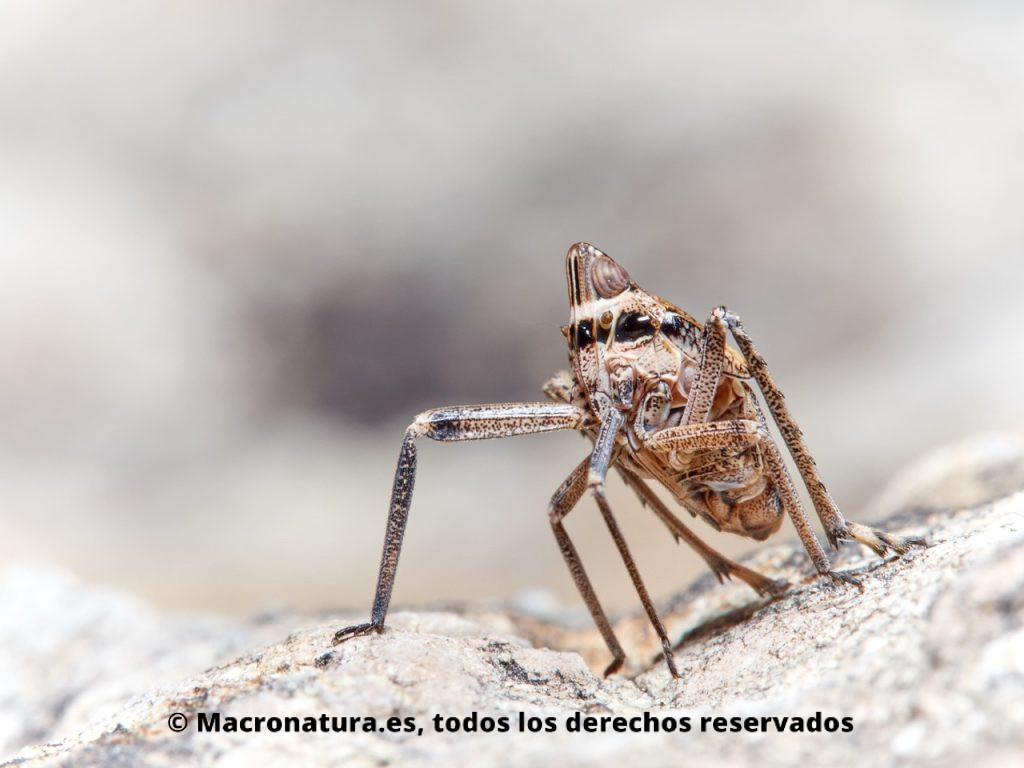 Insectos hemípteros del género Parorgerioides. Detalle patas largas.