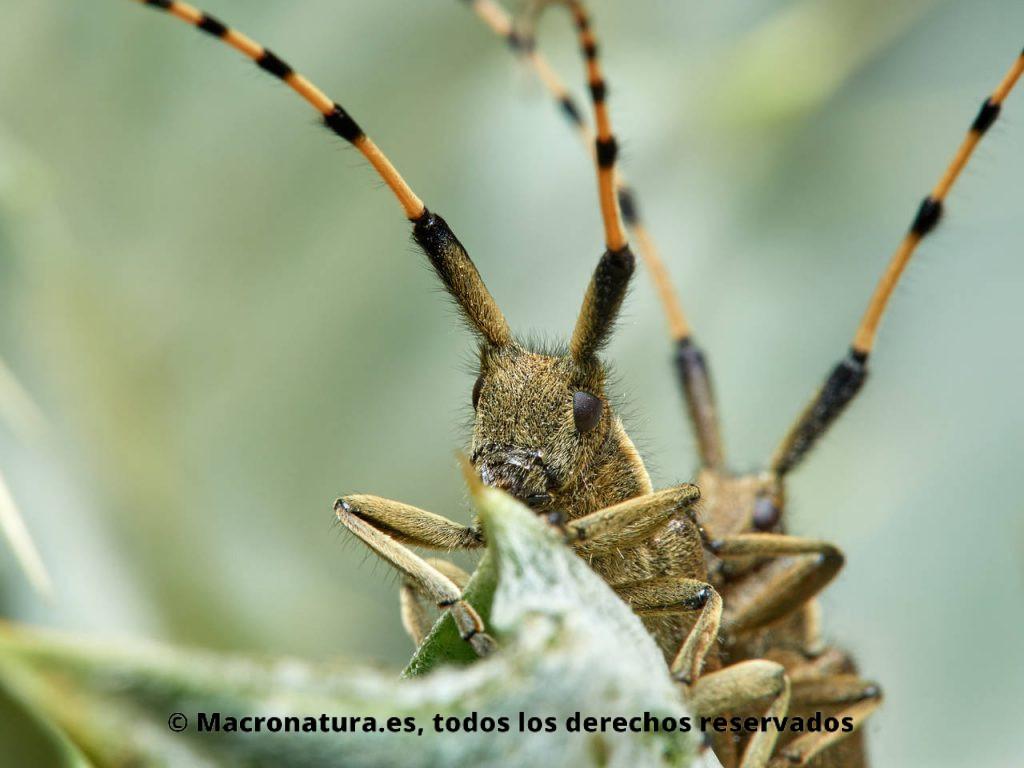 Primer plano de un Escarabajo longicornio Agapanthia annularis copulando sobre una planta.