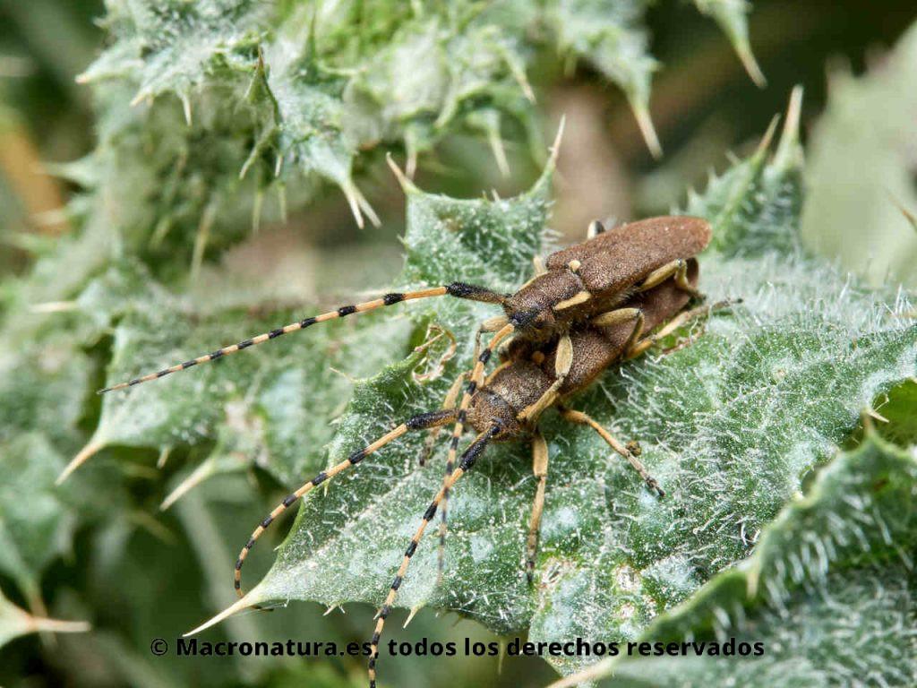 Escarabajo longicornio Agapanthia annularis copulando sobre una planta.