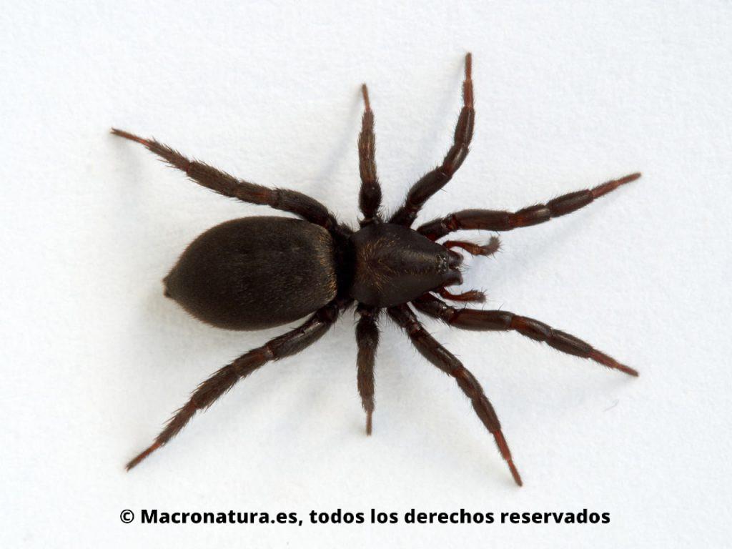 Arañas de tierra Familia Gnaphosidae. Color negro sobre fondo blanco