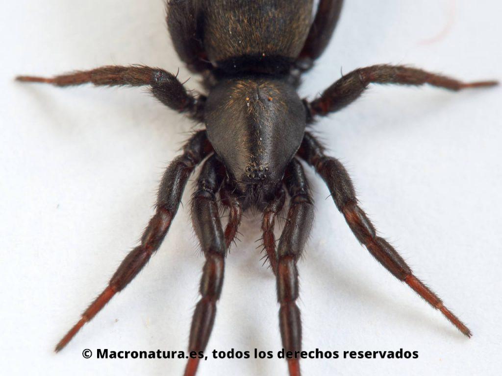 Detalle de cefalotorax de una Arañas de tierra Familia Gnaphosidae