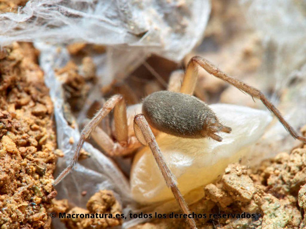 Detalle de las hileras de una Arañas de tierra Familia Gnaphosidae