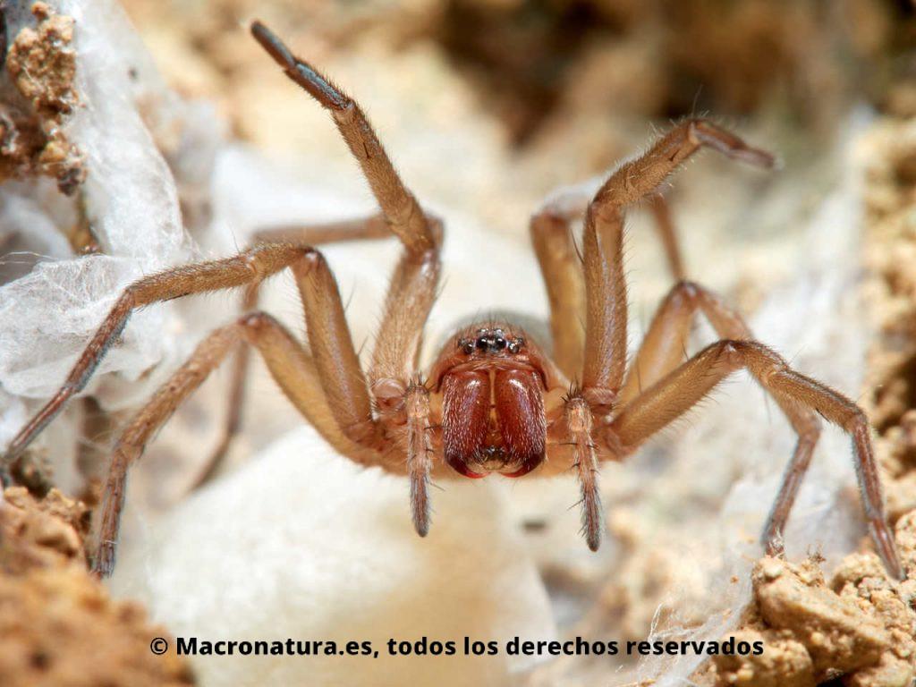 Arañas de tierra Familia Gnaphosidae sobre un saco de huevos. Actitud agresiva con las patas abiertas y mostrando los colmillos.