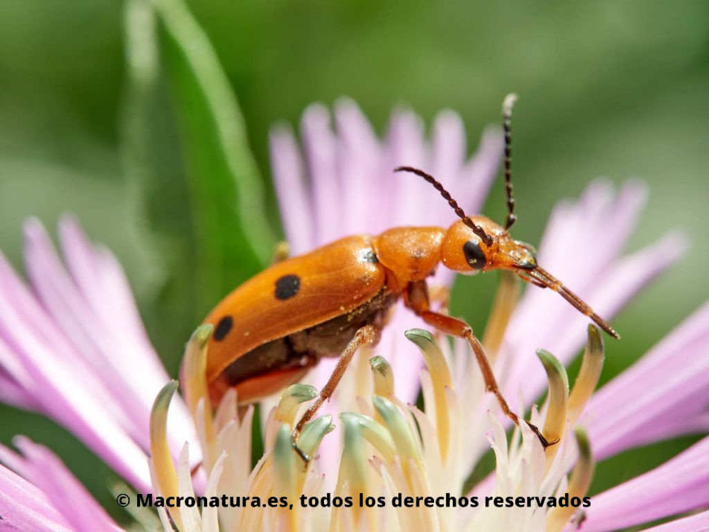Escarabajo naranja con puntos Leptopalpus rostratus sobre una flor de centaurea. Detalle de palpos maxilares.