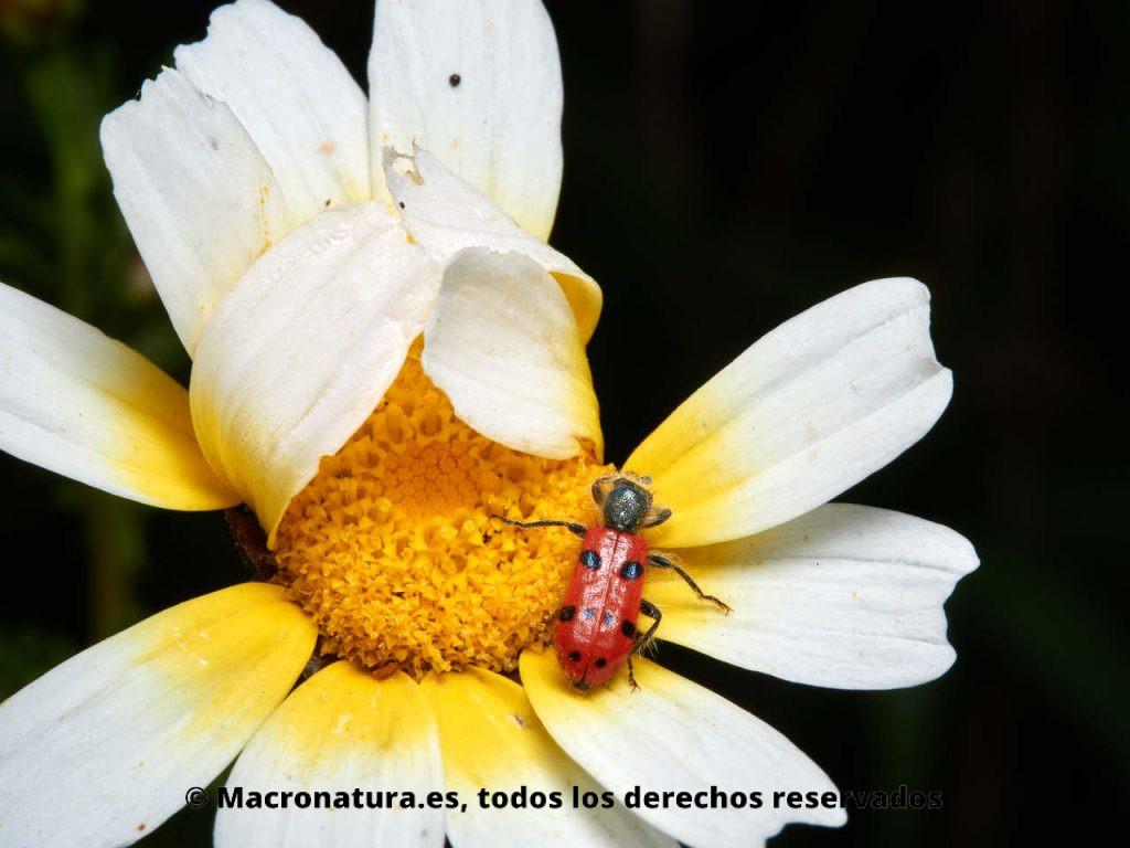 Escarabajo de ocho puntos Trichodes octopunctatus. Vista cenital amplia.