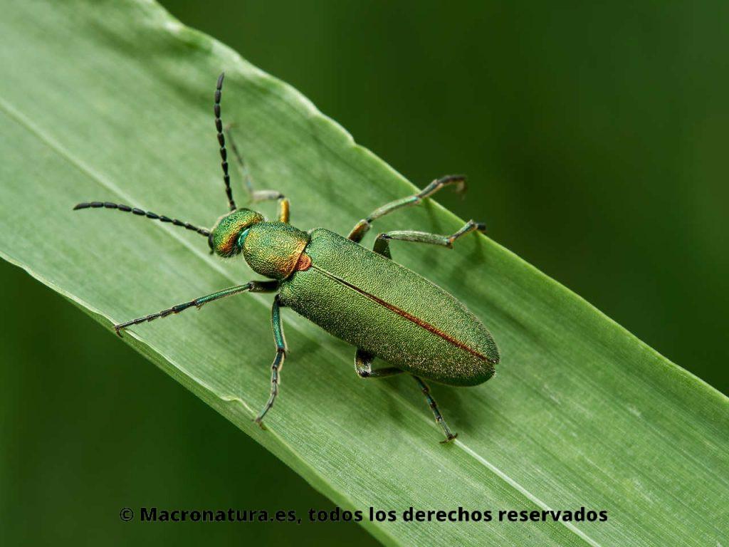 Escarabajo verde metálico Lagorina sericea sobre una hoja de avena. Vista de élitros