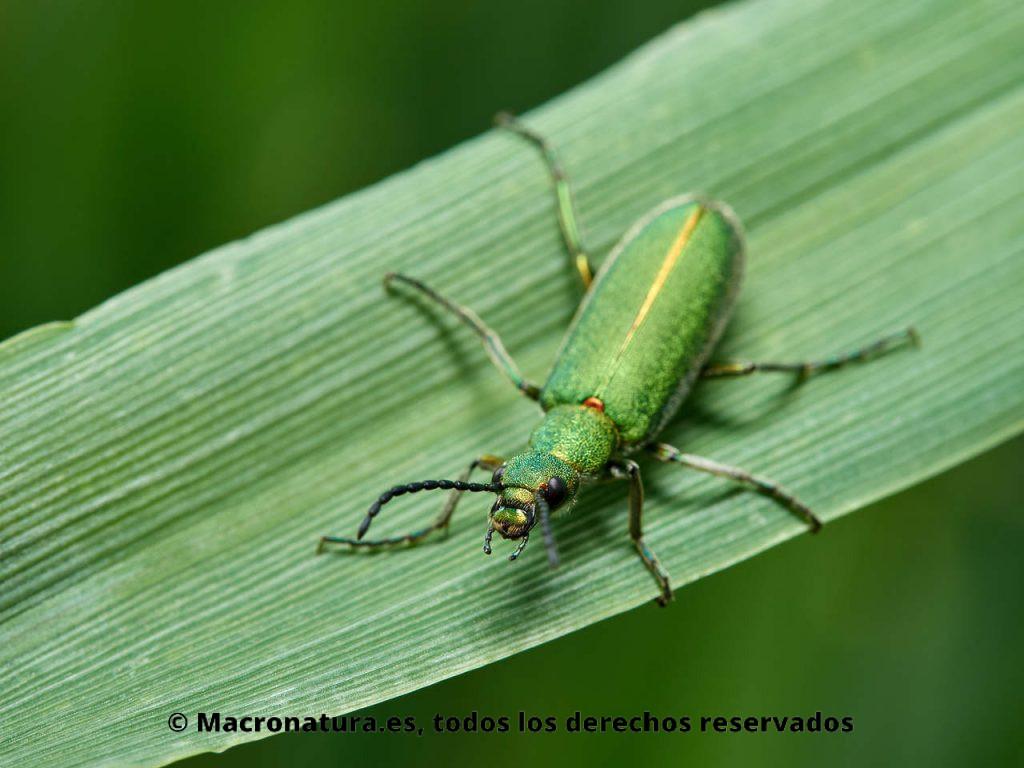 Escarabajo verde metálico Lagorina sericea sobre una hoja de avena. Detalle de cabeza y mandíbula