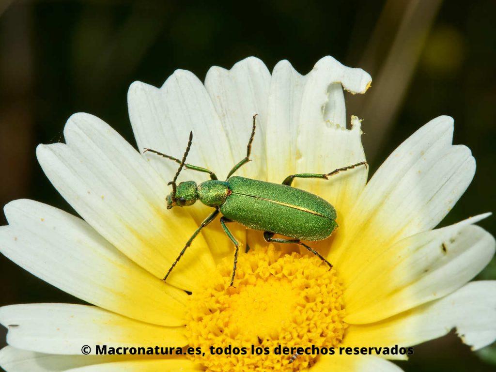 Escarabajo verde metálico Lagorina sericea sobre una margarita silvestre